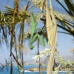 Богомол на пальме